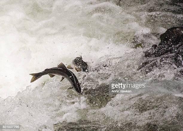 Salmon swimming upstream