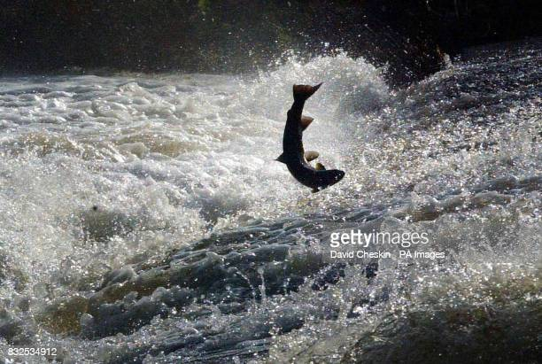 Salmon try to jump to the top of the Could Weir Selkirk during their long journey up the Tweed river in the Scottish Borders
