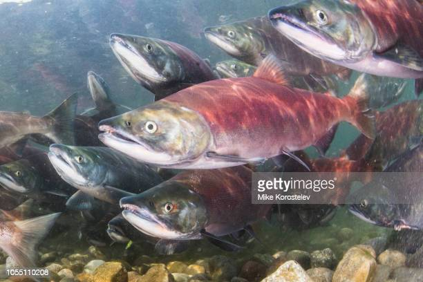 salmon underwater (spawning) - freshwater stock pictures, royalty-free photos & images