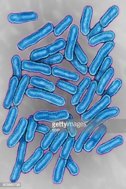 Salmonella bacteria responsible for salmonella Seen under optical microscopy X 1000