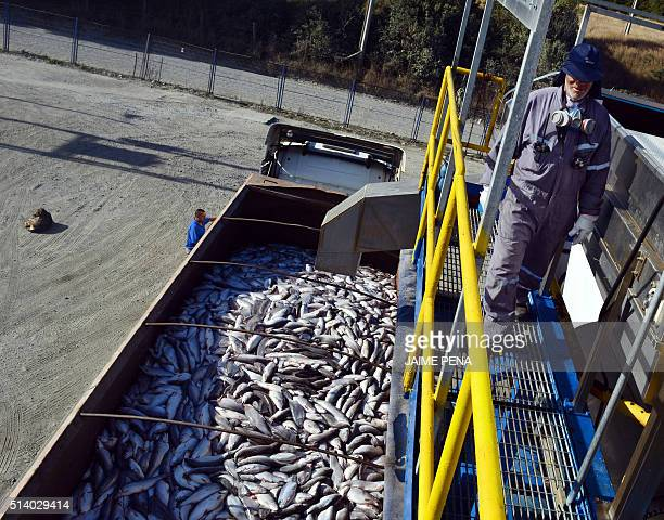 Salmons are loaded onto a truck at the Fiordo Austral company in Calbuco near Puerto Montt Chile on March 5 2016 The alarms went off again in the...