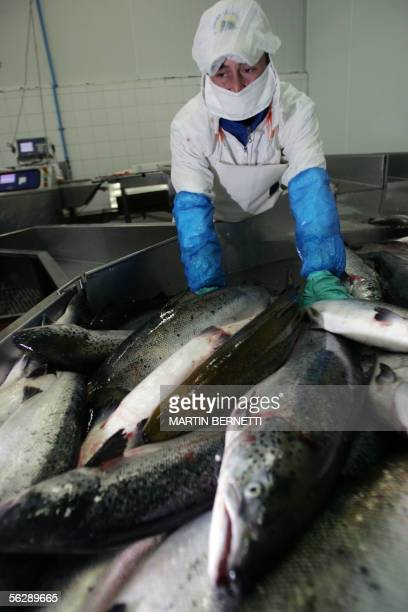 Salmons are readied to be processed at the Fjord Seafood factory 28 October 2005 in Puerto Montt southern Chile The 20yearlong governmentboosted...