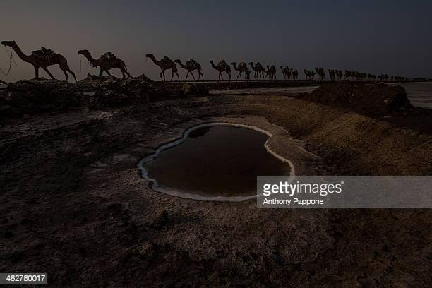 Salt Camel Caravan in Danakil Depression
