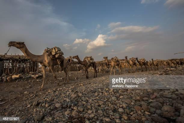 CONTENT] Salt caravan driver crossing the stone desert in the Danakil Depression ahmed ela village ethiopia