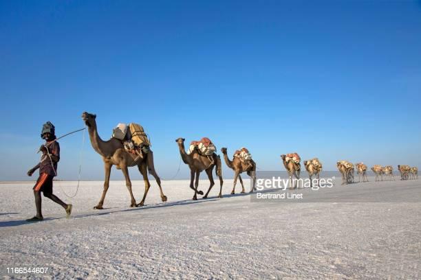 salt caravan of the danakil depression - danakil depression stock pictures, royalty-free photos & images