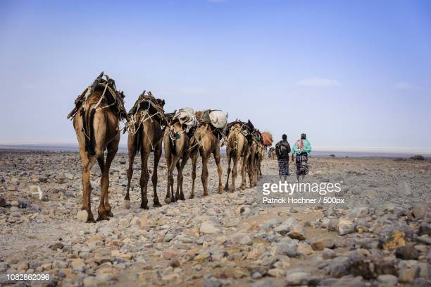 salt caravan on the road to armadilla, ethiopia - road salt stock pictures, royalty-free photos & images