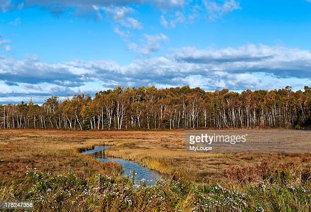 Salt marsh and a stand of birch trees Lubec Maine ME USA