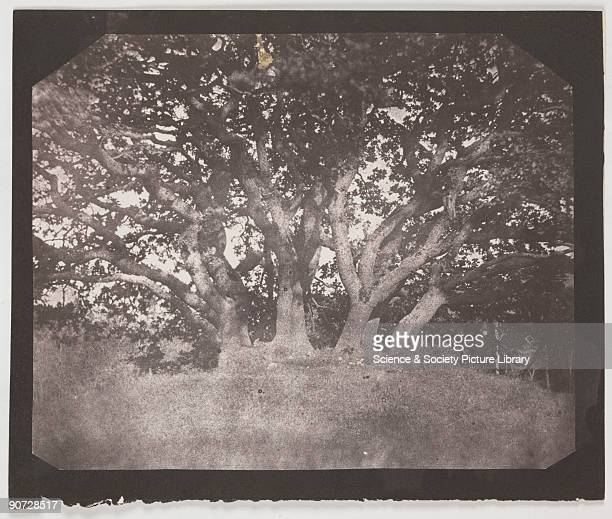 Salt print from a calotype negative of an oak tree in Carclew Park the home of Sir Charles Lemon by William Henry Fox Talbot Talbot invented the...