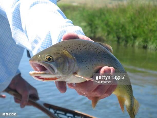 salt river cutthroat - carp stock photos and pictures