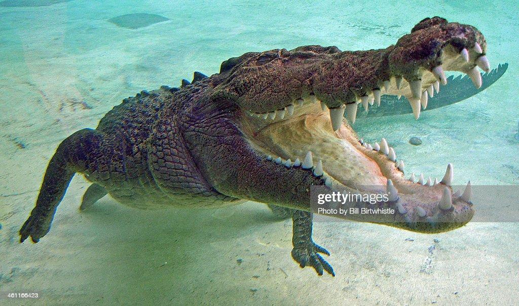 Salt water crocodile : Stock Photo