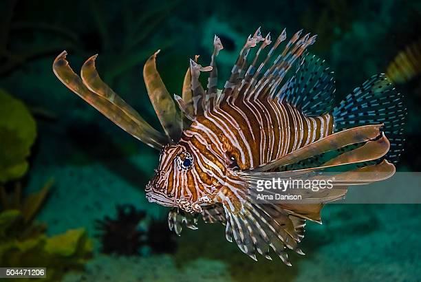 salt water lion fish - alma danison - fotografias e filmes do acervo