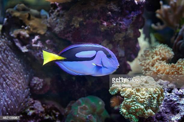 Salt water tropical fish
