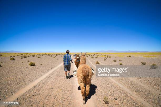 salta province, puna desert, argentina - radicella stock photos and pictures