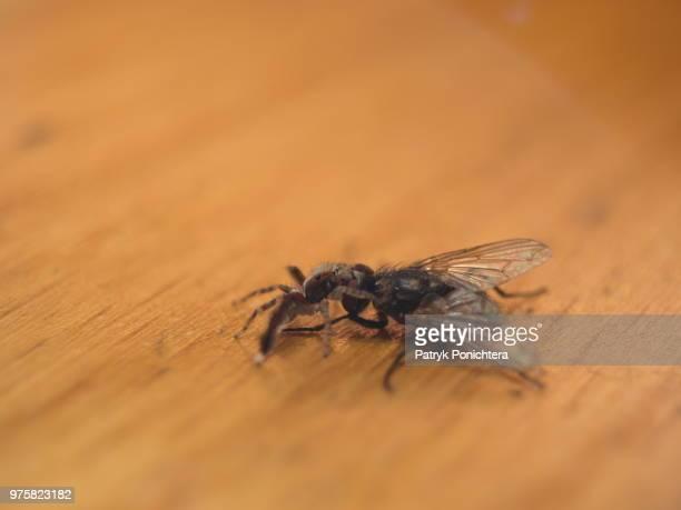 Salticidae vs Fly