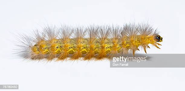 Saltmarsh caterpillar, close-up, studio shot