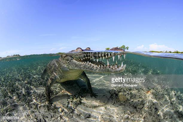 saltwater crocodile at the surface in the mangrove