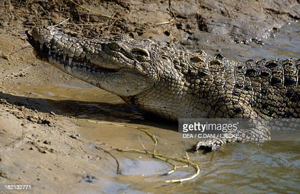 Saltwater crocodile Crocodylidae Mahanadi River Delta India