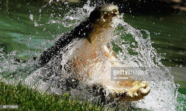 Saltwater Crocodile is pictured at the Australian Reptile Park January 23 2006 in Sydney Australia The Saltwater Crocodile the world's largest...