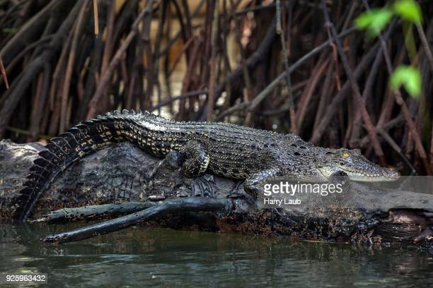 saltwater crocodile (crocodylus porosus) lying on tree trunk in mangrove forest, tributary, bentota ganga, bentota, western province, sri lanka - tronco de árvore imagens e fotografias de stock