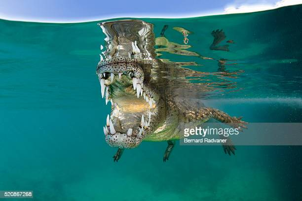 saltwater crocodile opening its mouth