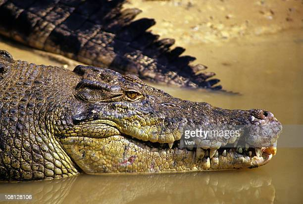 saltwater crocodile - crocodile stock pictures, royalty-free photos & images