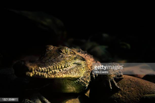 saltwater crocodile - rob castro stock pictures, royalty-free photos & images