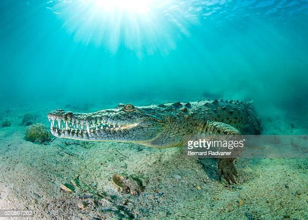 saltwater crocodile underwater