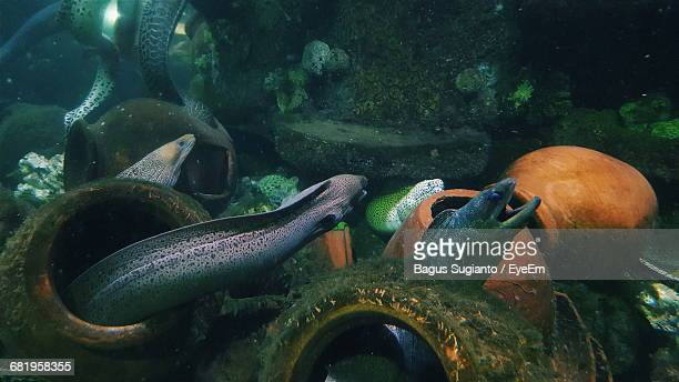 saltwater eels amidst pottery in sea - saltwater eel stock photos and pictures
