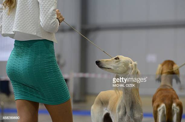 Saluki a Persian greyhound looks at his owner during the International Dog show on November 2 2014 in Prague AFP PHOTO/MICHAL CIZEK