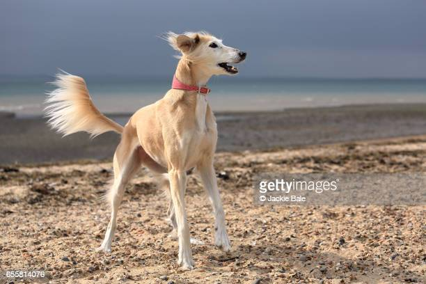 Sight Hound Stock Photos and Pictures | Getty Images