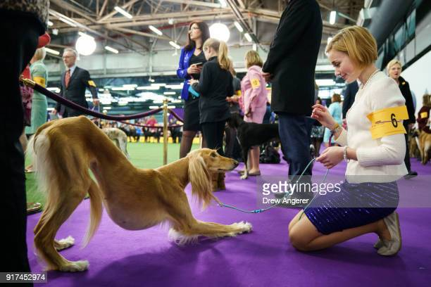 Saluki dog stretches while waiting to compete at the 142nd Westminster Kennel Club Dog Show at The Piers on February 12 2018 in New York City The...