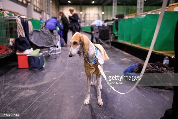 Saluki is prepared for competition on day two of the Cruft's dog show at the NEC Arena on March 9 2018 in Birmingham England The annual fourday event...