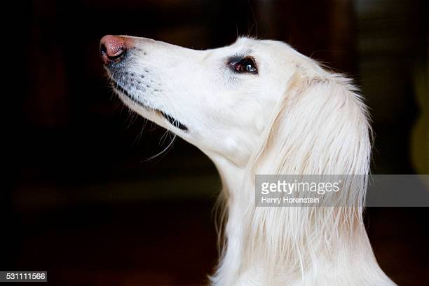 60 Top Saluki Pictures, Photos, & Images - Getty Images
