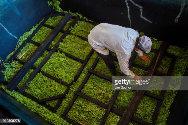 Salvadoran farm worker loads the leaves and branches of the indigo plants into a concrete tank to be soften at the semiindustrial manufacture near...