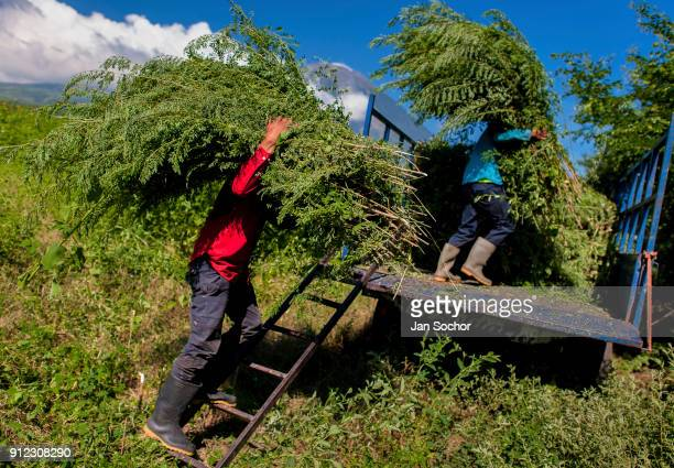 Salvadoran farm workers load piles of indigo plants onto a truck in the field near San Miguel El Salvador on November 12 2016 For centuries the...