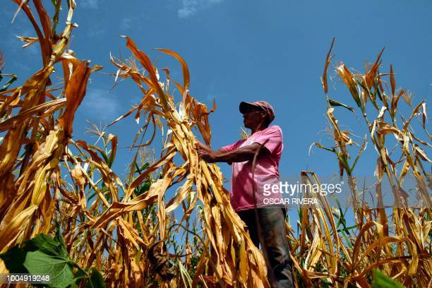 Salvadorean Samuel Fuentes, a farmer who lost his crops because of the drought, checks his corn field in the town of Usulutan, 110 km southeast from...