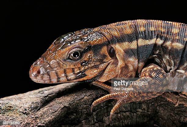60 Top Tegu Pictures, Photos, & Images - Getty Images