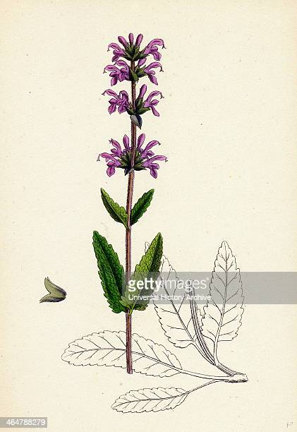 Salvia clandestina Smallflowered Clary