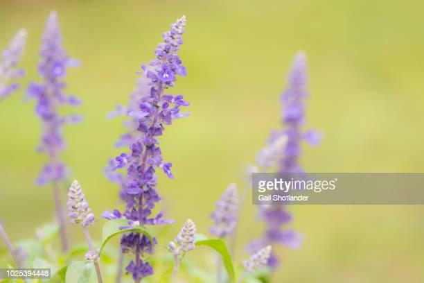 Salvia Flower Spikes
