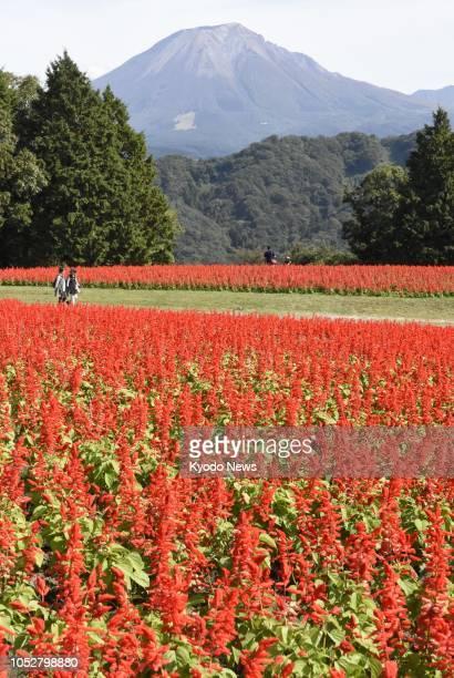 Salvia flowers bloom in red at the Tottori Hanakairo flower park in Nambu, Tottori Prefecture, western Japan, on Oct. 22, 2018. ==Kyodo