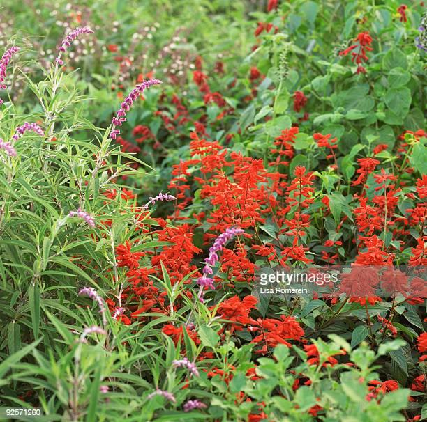 Salvia garden