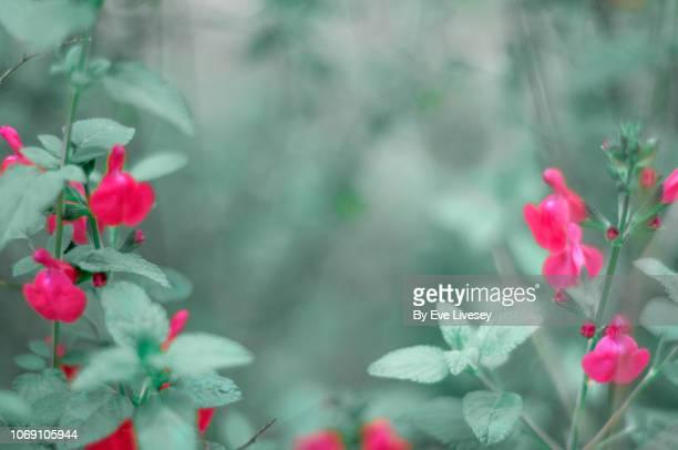 Salvia Microphylla La Trinidad Flowers