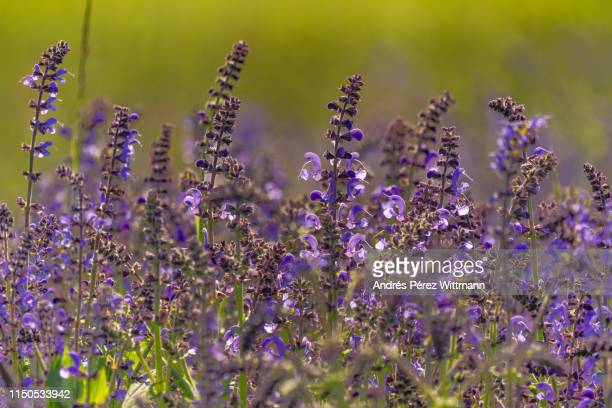 salvia pratensis, meadow clary or meadow sage - purple rain stock pictures, royalty-free photos & images