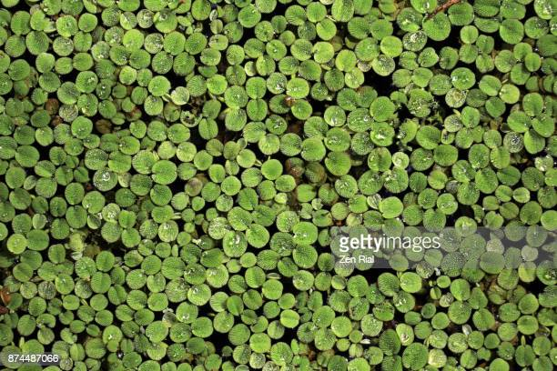 salvinia minima - also called common salvinia or water spangles in florida, usa - exotic_species stock pictures, royalty-free photos & images