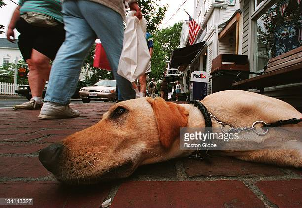 Sam a 7monthold yellow labrador retriever relaxes on a sidewalk in Edgartown as shoppers pass him by Sam is owned by David Hay of Pocono Summit Penn...
