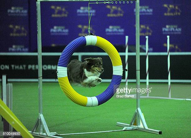 Sam the Border Collie competes in the agility course during the 7th Annual AKC Meet The Breeds at Pier 92 on February 13 2016 in New York City