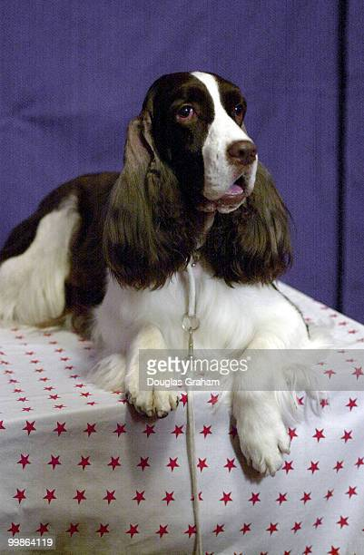Samantha the English Springer Spaniel and Best in Show at the 2000 Westminster Kennel Club Dog Show during the Pet Night on Capitol Hill event