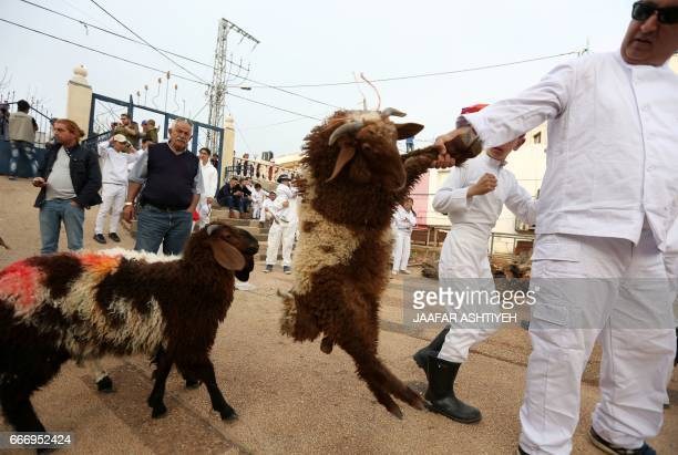 A Samaritan pulls a sheep to be slaughtered during the traditional Passover sacrifice ceremony where sheep and goats are slaughtered at Mount Gerizim...