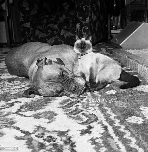 Samba the ferocious looking mastiff is lulled to sleep in front of a warm fire and along comes Smokey his pal to put her completely into dreamland as...