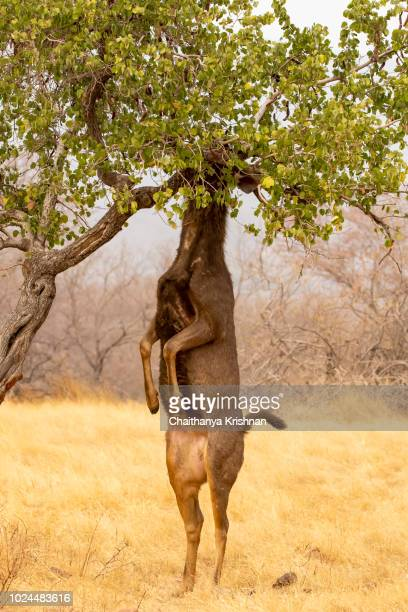 A sambar deer feeding on the leaves of a tree inside ranthambore national park